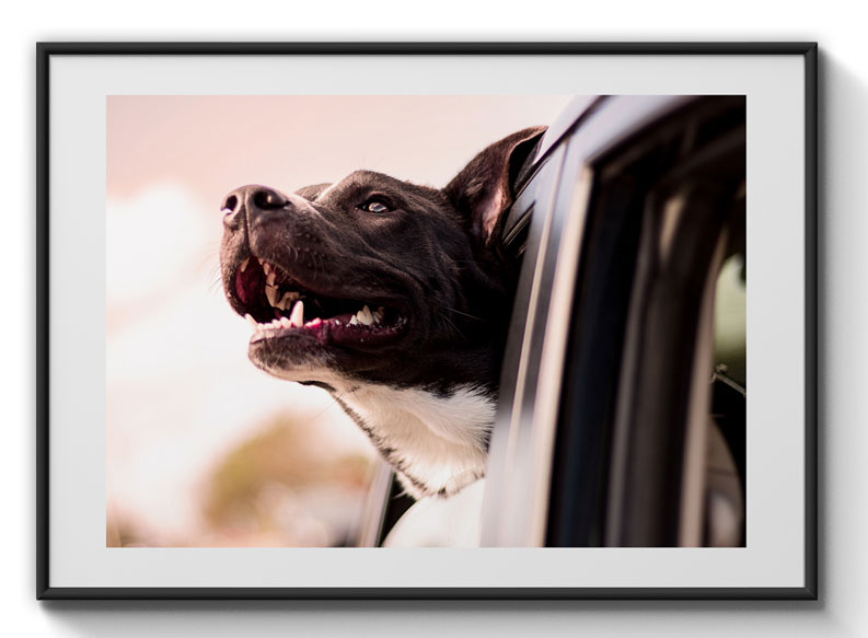 Dog looking out of car window poster